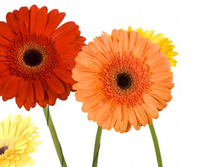 Gerberas - Free Stock Photo