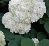 Free Photo - Corymbs of smooth hydrangea