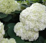 Free Photo - Inflorescence of smooth hydrangea