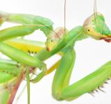 Free Photo - Praying mantises