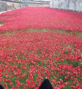 Free Photo - Red poppies London
