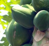 Free Photo - Papaya Fruit Tree