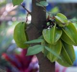 Free Photo - Starfruit Tree