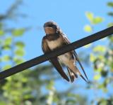 Free Photo - Swallow bird resting