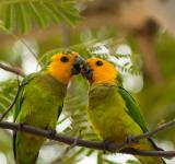 Free Photo - Two Caribbean Parakeets