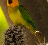 Free Photo - Caribbean Parakeet