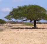 Free Photo - Divi Divi Tree