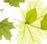 Free Photo - Green leaves isolated