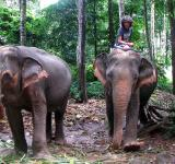 Free Photo - Elephants on Koh Chang