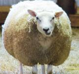 Free Photo - Sheep feeding