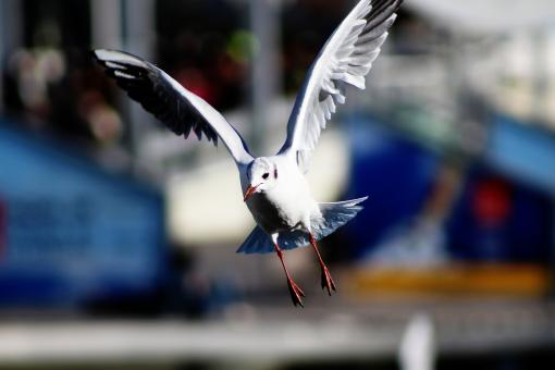 Seagull flying - Free Stock Photo