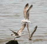 Free Photo - Flying gulls
