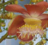 Free Photo - Cannon ball tree flower
