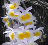 Free Photo - White and Yellow Orchid Bloom