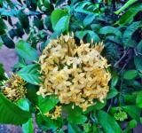 Free Photo - Yellow Ixora flower