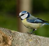 Free Photo - Nun-bird (Cyanistes caeruleus)