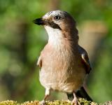 Free Photo - Jay bird (Garrulus glandarius)