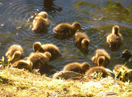 Ducklings - Free Stock Photo