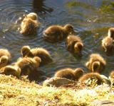 Free Photo - Ducklings