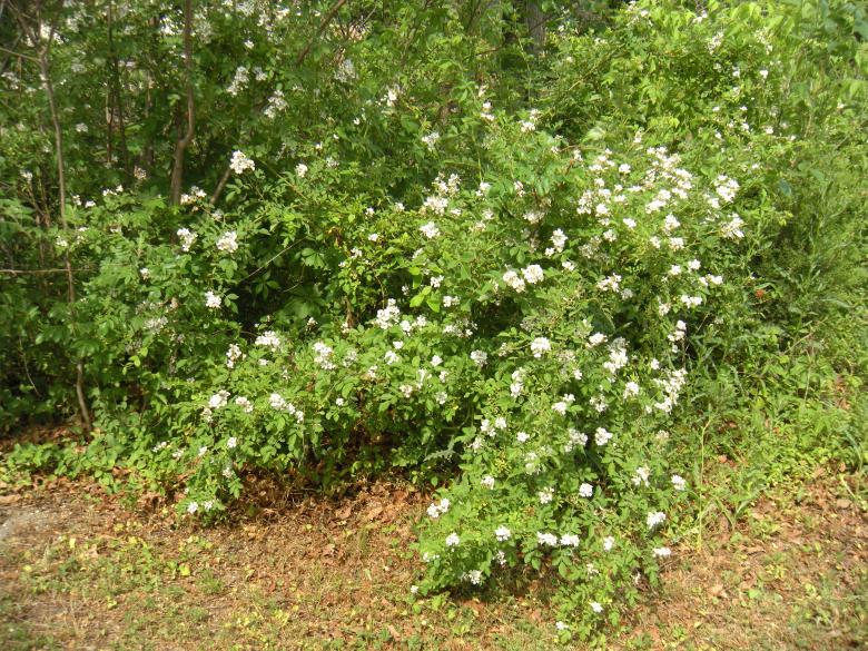 White flowered bush free stock photo by vincent alvino on white flowered bush free stock photo mightylinksfo