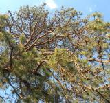 Free Photo - Pine Cones In Tree