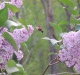 Free Photo - Hummingbird Moth