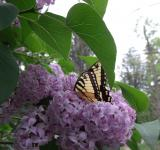 Free Photo - Butterfly and Lilacs