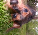 Free Photo - Dapple Dachshund