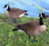Free Photo - Two Canadian Geese