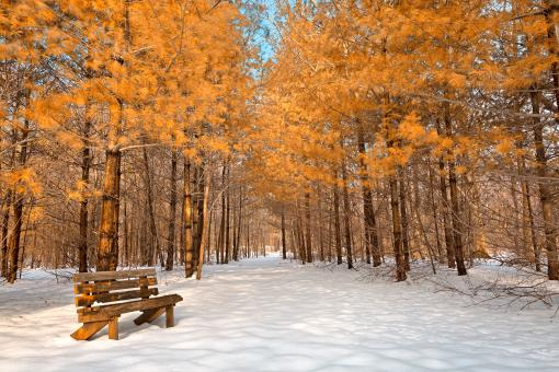 Gold Winter Pine Trail - HDR - Free Stock Photo