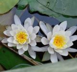 Free Photo - Waterlilies