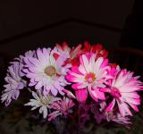 Free Photo - Colorful Daisies