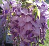 Free Photo - Wisteria Bloom