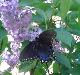 Free Photo - Butterfly on Lilac