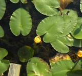 Free Photo - Lily Pads And Flowers