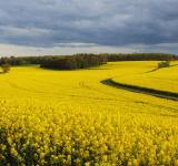 Free Photo - Rapeseed field