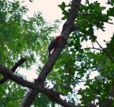 Free Photo - Red Headed Woodpecker