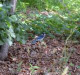 Free Photo - Blue Jay