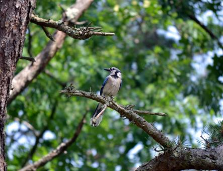 Blue Jay Bird - Free Stock Photo