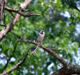 Free Photo - Blue Jay Bird