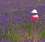 Free Photo - Child in a lavender plantation