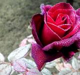 Free Photo - Red rose with dew drops