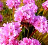 Free Photo - Honeybee pollinating Spiny Thrift