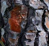 Free Photo - Pine tree bark Texture