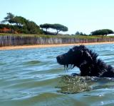 Free Photo - Portuguese Water Dog Swimming vigorously