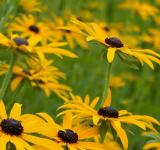 Free Photo - Brown Eyed Susan
