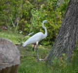 Free Photo - Great White Heron