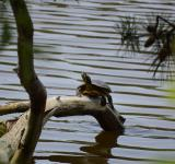 Free Photo - Turtle Sunning Itself