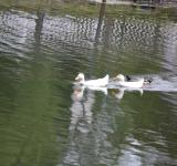 Free Photo - Three Ducks