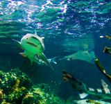 Free Photo - Shark swimming
